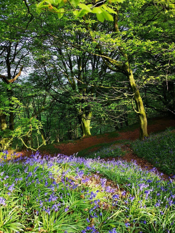 Bluebells growing on huge ramparts in woodland at Hembury Hillfort