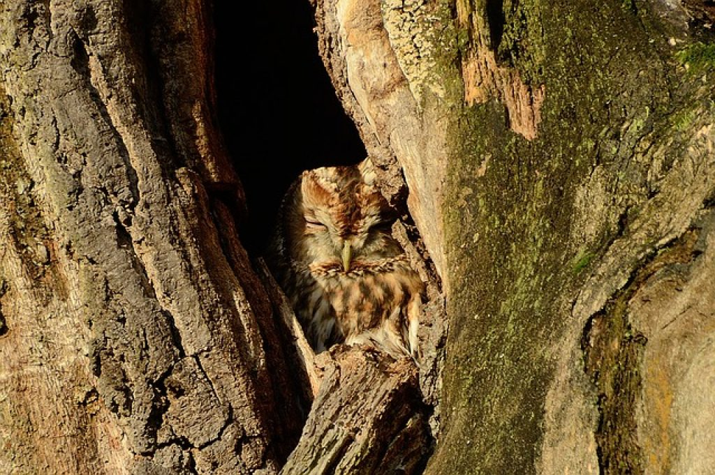 Tawny owl nestled in a tree trunk