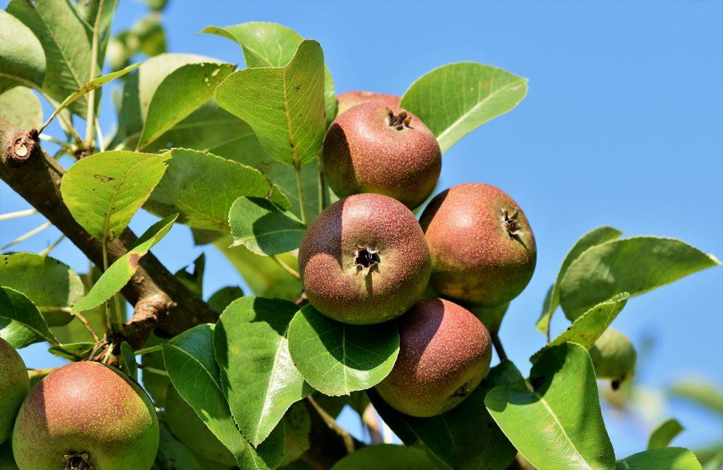 Apple tree. Photo: Pixabay