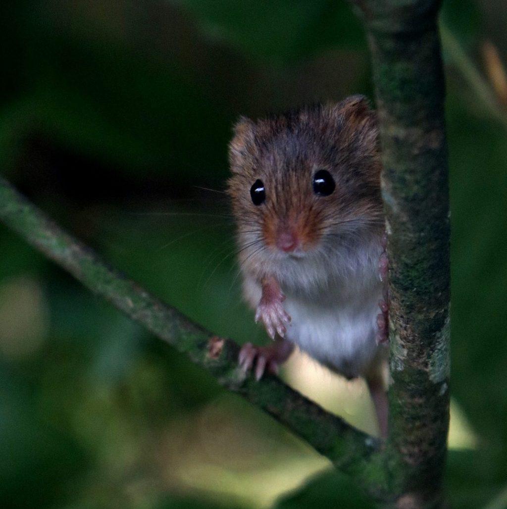 Harvest mouse. Photo: Pixabay