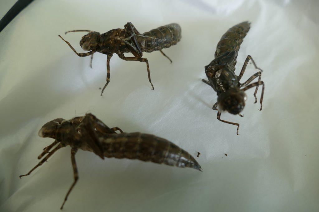 Dragonfly exuviae. Photo: Ferne Animal Sanctuary
