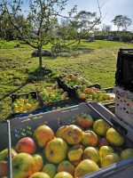 Crates of apples ready for pressing