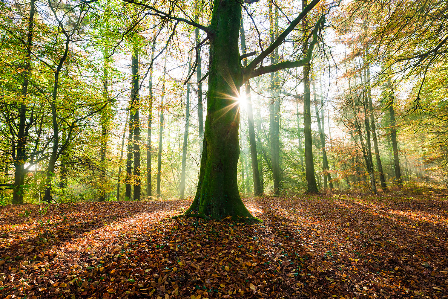 Sunlight peeping through tree trunks and across leaf covered forest floor