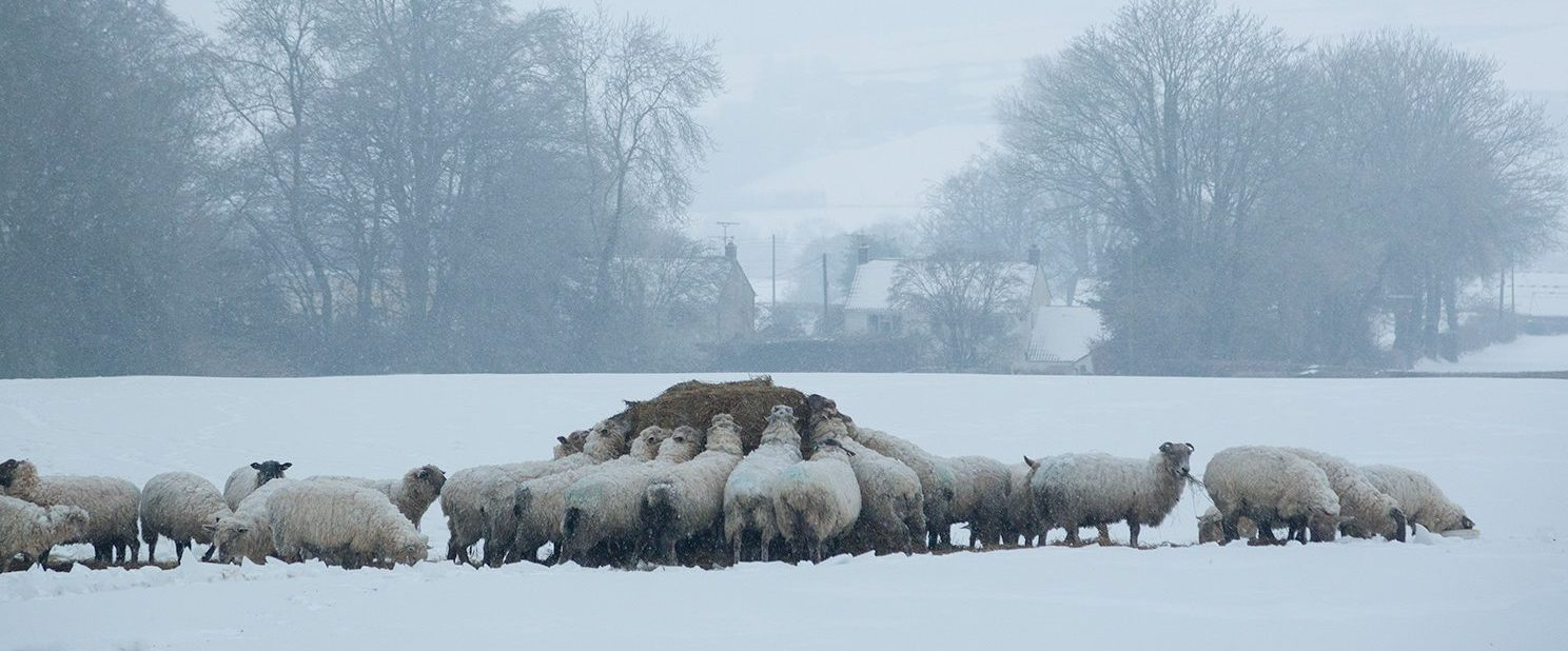 Sheep feeding in snow. Photo: Liam Marsh