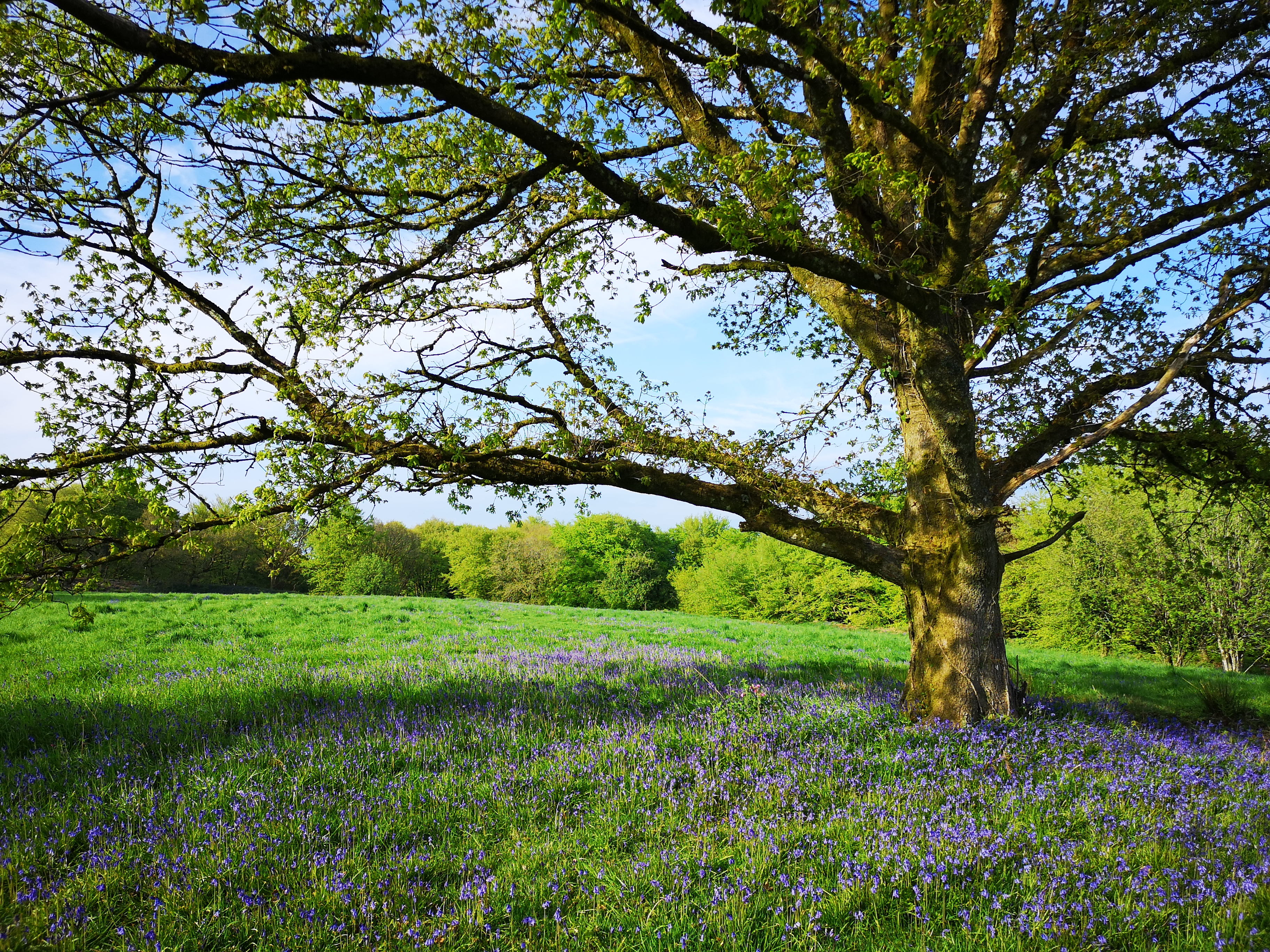 A tree in early spring with bluebells in flower beneath