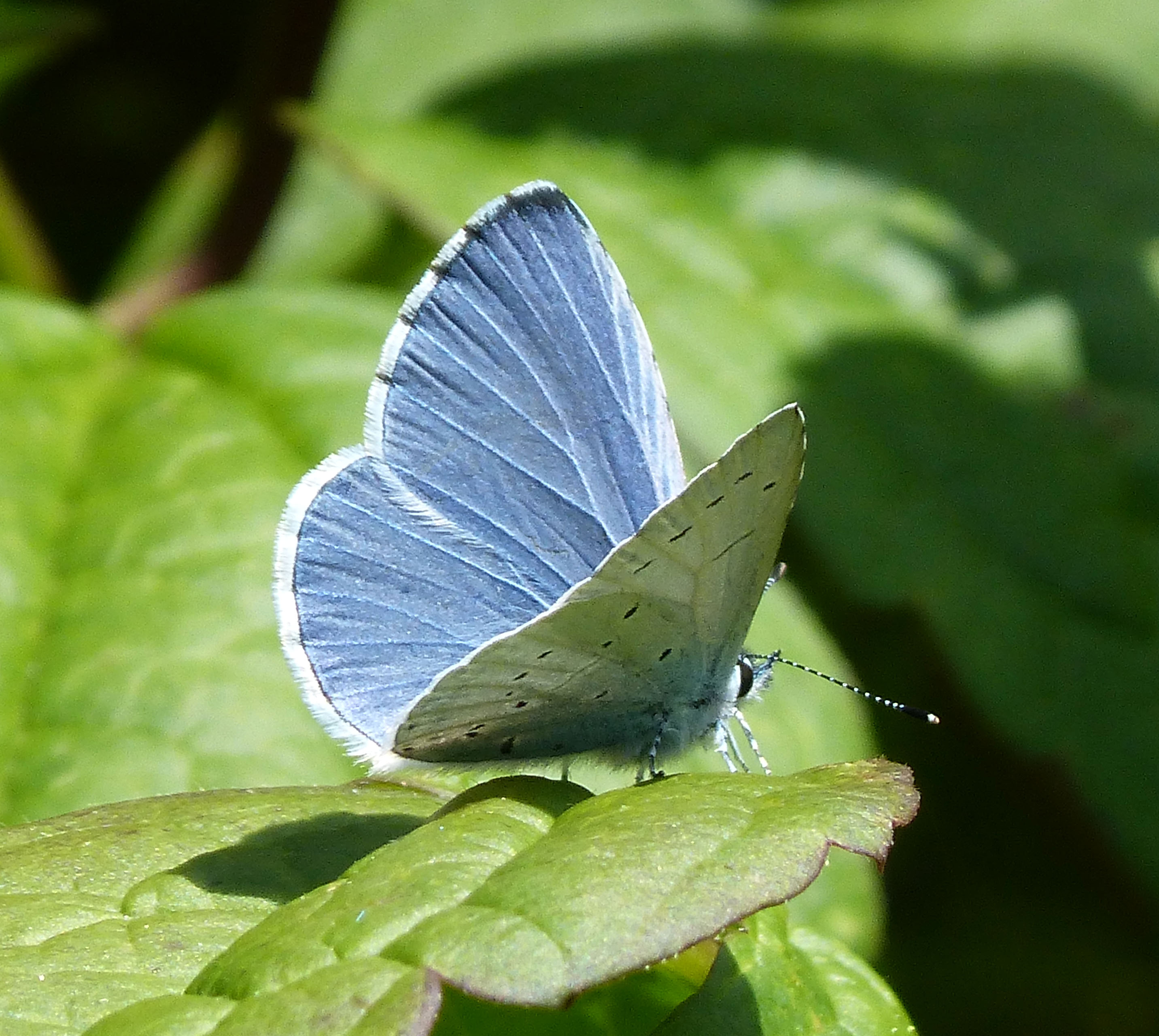 Holly blue butterfly resting on a leaf