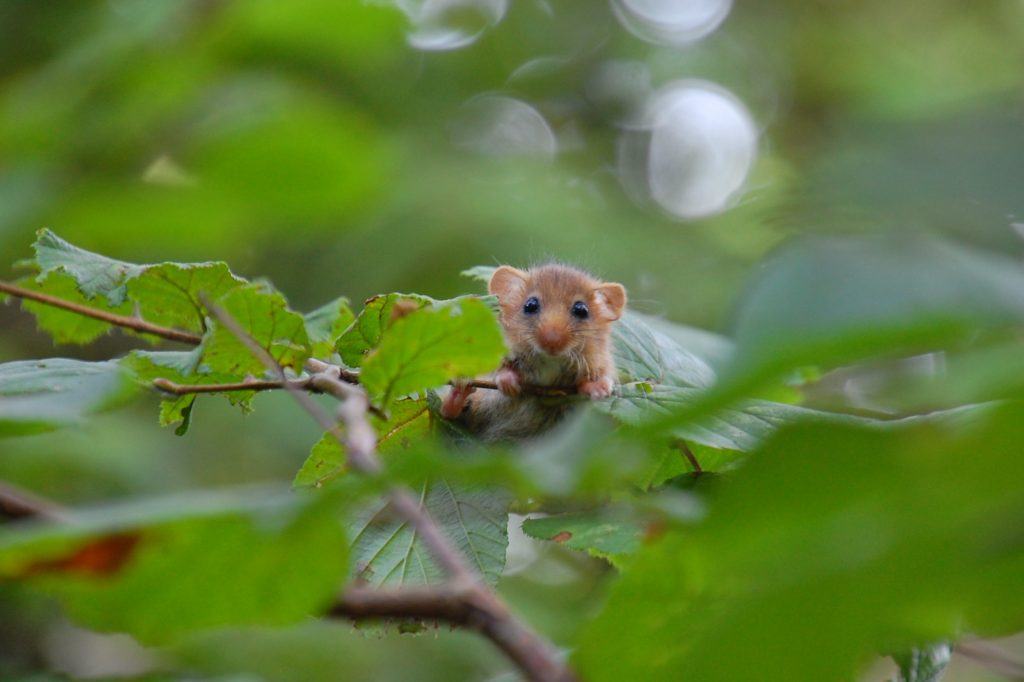 A dormouse standing on the twig of a tree looking at the camera through the leaves.