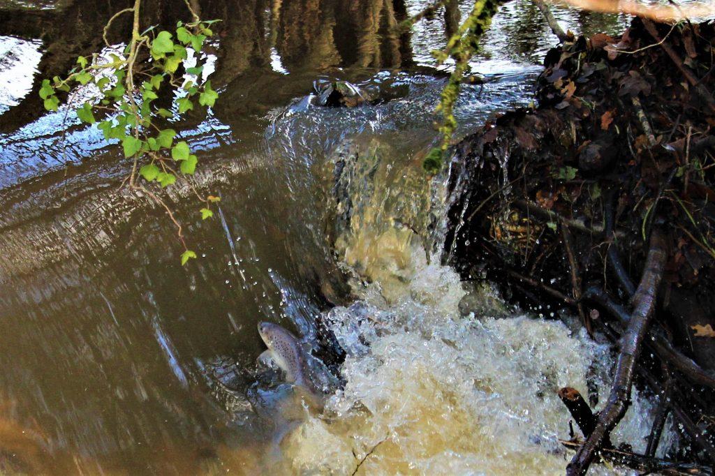 small-sea-trout-jumping-beaver-dam